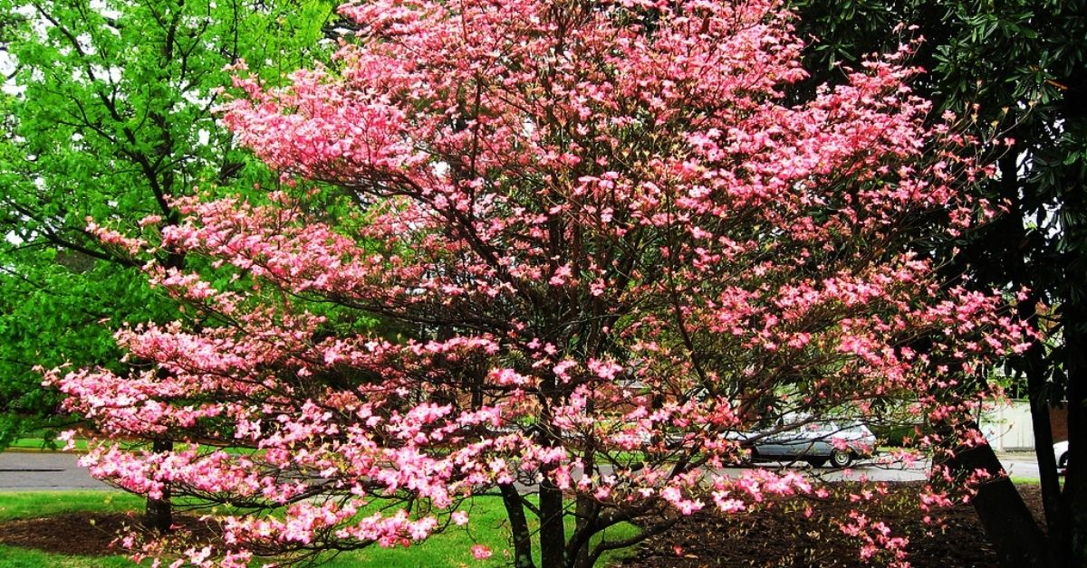 Fast-Growing Shade Trees For Small Yard