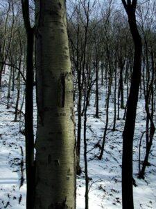 Black Birch Firewood