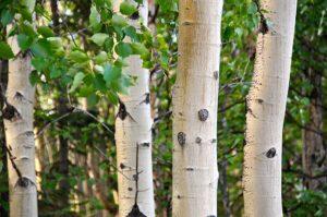 White Birch Firewood