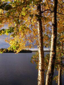 Yellow Birch Firewood